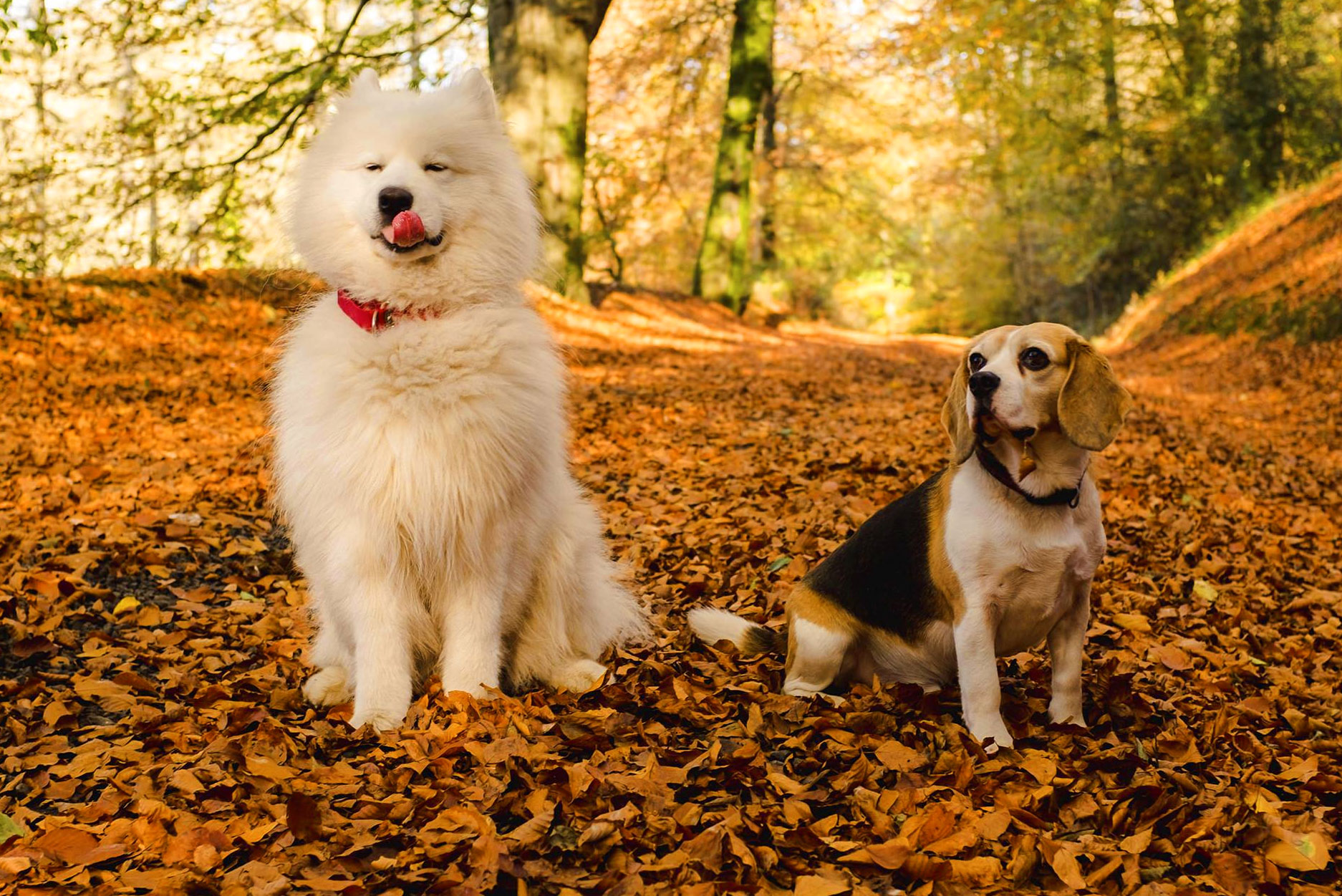 Beagle and the bear